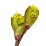Blossoming buds on tree isolated on white