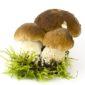 boletus edulis mushrooms on moos - white background
